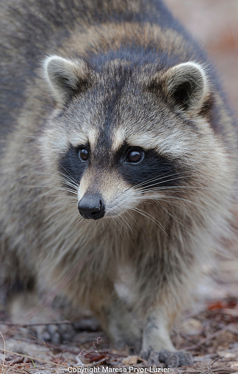 Raccoon, Procyon motor,  Florida, USA, wild