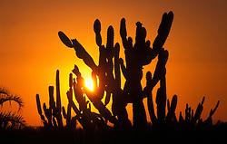 Pernambuco, Brasil..Por do sol no sertao pernambucano. Cactus./ Sunset in pernambucan desert. Cactus plant..Foto © Luiz Prado/Argosfoto
