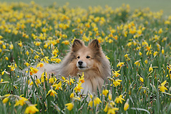 © Licensed to London News Pictures. 27/03/2013.Robbie The Sheltie dog enjoying a spring walk amongst the daffodils this morning with his owner Sharman..Spring fights back today (27.03.2013) as daffodills bloom at Footscray Meadows in Sidcup, Kent, South East London borders..Photo credit : Grant Falvey/LNP