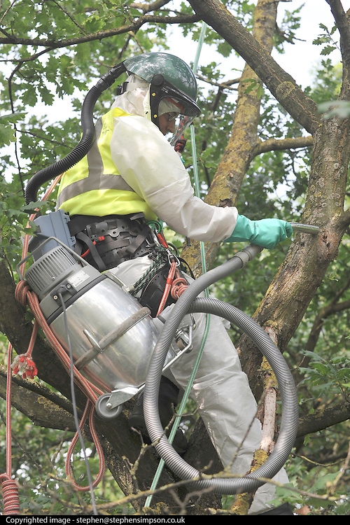 © licensed to London News Pictures. BRENTFORD. LONDON, UK. 29/07/11.A worker uses a speciallu adapted vacuum cleaner to vacuum an oak tree. Staff at British Waterways 'vacuuming' oak trees to eradicate the dangerous alien Oak Processionary Moth. British Waterways is working to halt the spread of the invasive non-native moth along the leafy Grand Union Canal at Brentford. The moths are hazardous to human health and strip English oak trees of foliage which can ultimately cause the trees to die. As pesticides are not allowed to be used near water, the moths were 'sucked' out of the trees. The Oak Processionary Moth (OMP) is native to southern and central Europe and is a major defoliator of Oak and a constant problem to native oaks. Populations of the moth vary year to year and are regularly monitored. The Moth (OMP) gets its' name from the characteristic way the larvae mass on trunks and branches and move in a nose to tail procession. The caterpillars have irritating hairs that carry a dangerous toxin. The hairs are easily blown in the wind causing serious irritation to the skin, eyes and bronchial tubes of both humans and animals. The moth poses a significant human health risk when populations reach outbreak proportions. As a result populations across Europe are constantly monitored and alert systems are in place. It is imperative that larvae caterpillars are not handled. Adults emerge mid July to Mid September. Mandatory Credit Stephen Simpson/LNP