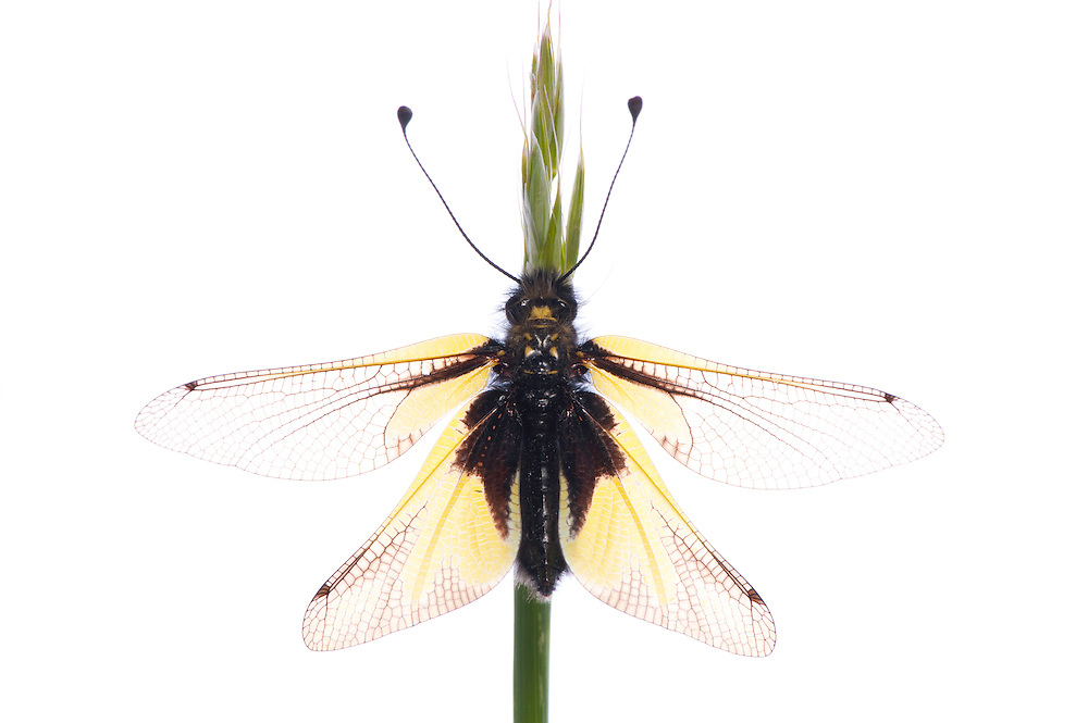 Ascalaphid, Libelloides coccajus, Queyras, France, Europe