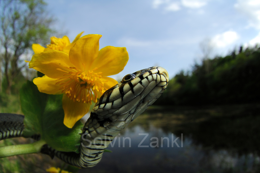 Die Ringelnatter (Natrix natrix), ist eine in mehreren Unterarten in großen Teilen Europas und Asiens sowie Nordafrikas beheimatete Schlange, die zur Familie der Nattern (Colubridae) gehört. | The Grass Snake, sometimes called the Ringed Snake or Water Snake (Natrix natrix) is a European non-venomous snake.