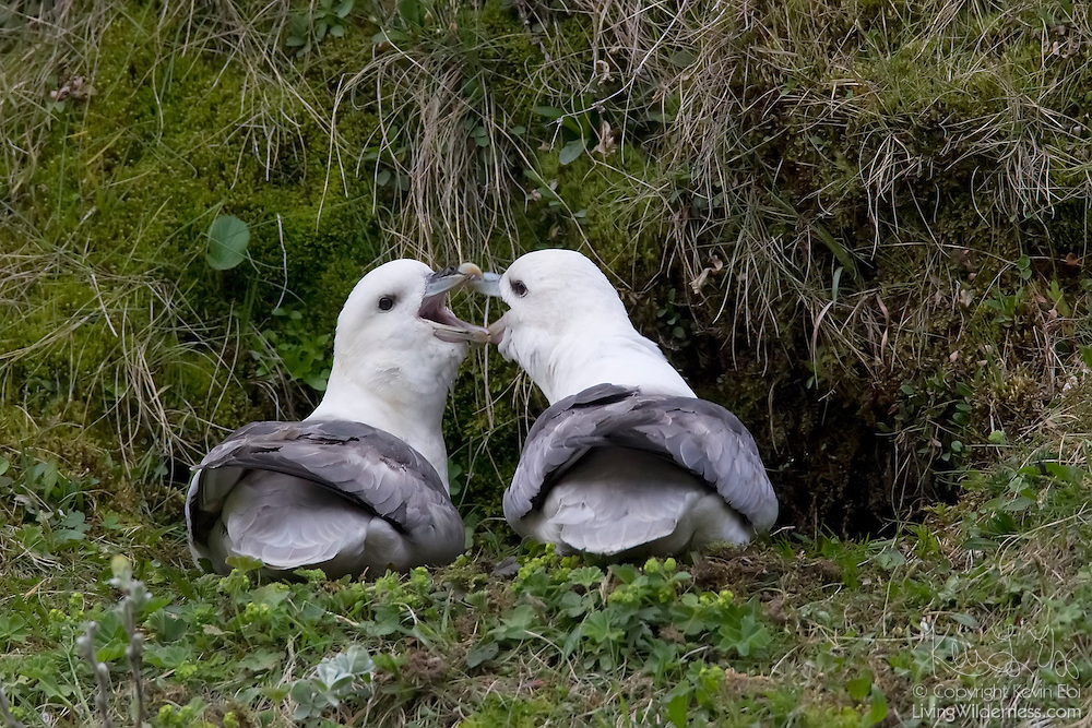Two northern fulmars (Fulmarus glacialis) engage in a courtship ritual on a cliff high above Vík, Iceland.