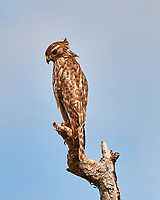 Red-shouldered Hawk perched on a dead tree just north of the Wilson's Corner intersection. Merritt Island National Wildlife Refuge. Image taken with a Nikon D3x camera and 600mm f/4 VR lens (ISO 100, 600 mm, f/8, 1/250 sec).