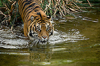 A Sumatran Tiger enters water