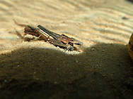 Caddisfly<br /> <br /> Todd Pearsons/Engbretson Underwater Photography