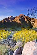 Morning light on brittlebush and ocotillo under San Ysidro Mountain, Anza-Borrego Desert State Park, California USA
