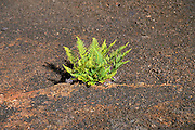 Fern emerging from a crack in the Kilauea Iki crater, Hawaii Volcanoes National Park, The Big Island, Hawaii USA