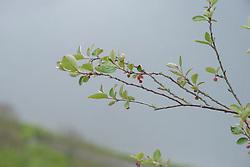 Wilde dwergmispel, Cotoneaster integerrimus