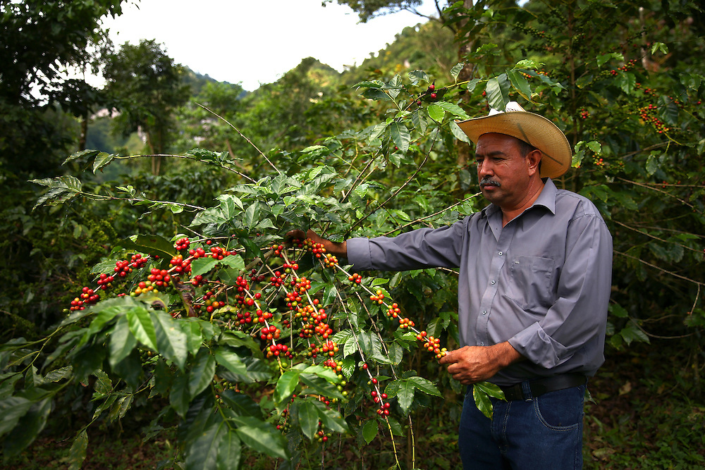 Coffee farmer Martiniano Moreno examines coffee cherries on one of his plants in the Jaltenango region of Chiapas, Mexico. Photographed on November 16, 2015. (Joshua Trujillo, Starbucks)<br /> <br /> ***model released***