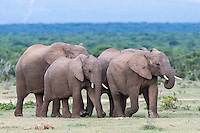 African Elephant family herd walking towards water, Addo Elephant National Park, Eastern Cape, South Africa