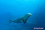 Hawaiian monk seal, Monachus schauinslandi, Critically Endangered endemic species, mature male with massive scar, probably from a tiger shark bite, Lehua Rock, off Niihau, Hawaii ( Central Pacific Ocean )