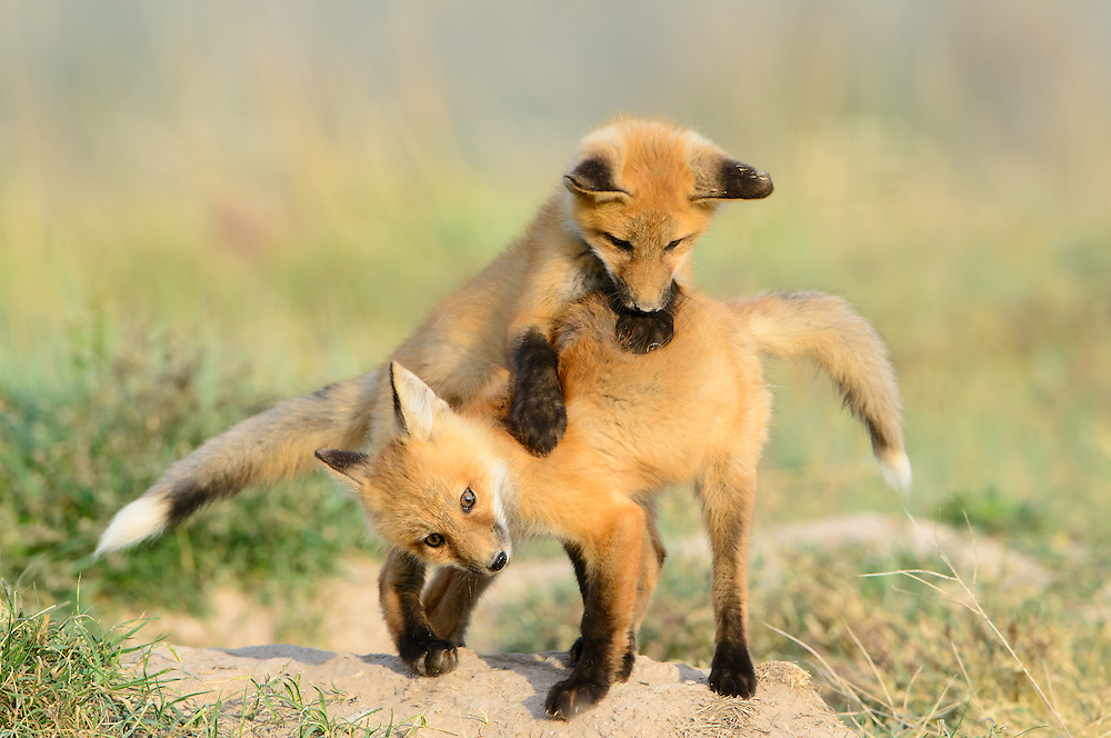 Red Fox cubs at play (Vulpes vulpes), Missoula, Montana