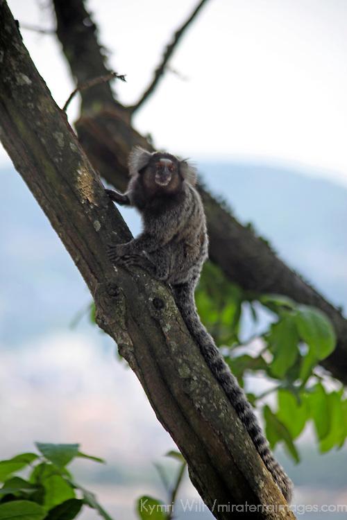 South America, Brazil, Rio de Janiero. Common Marmoset, a common sighting in Rio de Janiero.
