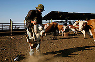 Yair Negev 24 working in the cattle-shed of  Moshav Yehonatan in the Golan height Israel. Wednesday October, 05, 2007.. ....