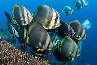 Spadefish line up at a cleaning station<br /> <br /> Shot in Raja Ampat Marine Protected Area West Papua Province, Indonesia