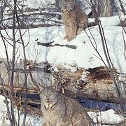 Canada Lynx, (Lynx canadensis) Pair in Rocky mountains. Montana. Winter. Captive Animal.
