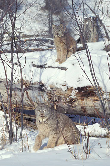 Canada Lynx, (Lynx canadensis) Pair in Rocky mountains. Montana. Winter. Captive Animal.