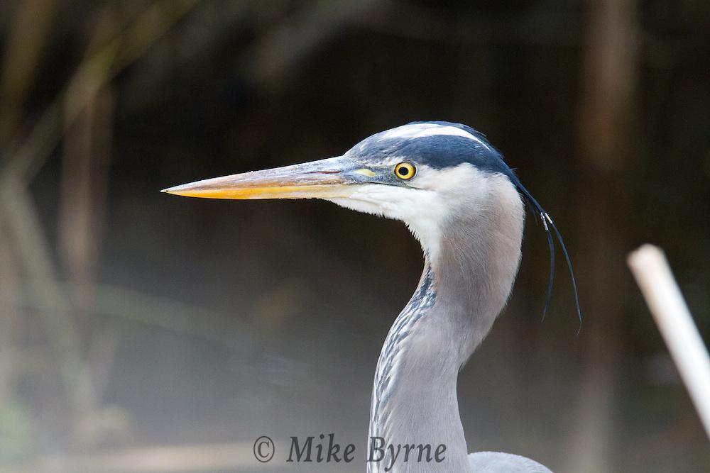 Great Blue Heron (Ardea herodias)at Blenkinsop Lake