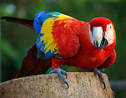 This is a photograph of a Macaw.