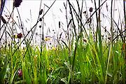 Nederland, Wageningen, 3-6-2015Grasland Ossekamp. wetenschappelijk onderzoek grassen en wilde bloemen.FOTO: FLIP FRANSSEN/ HH