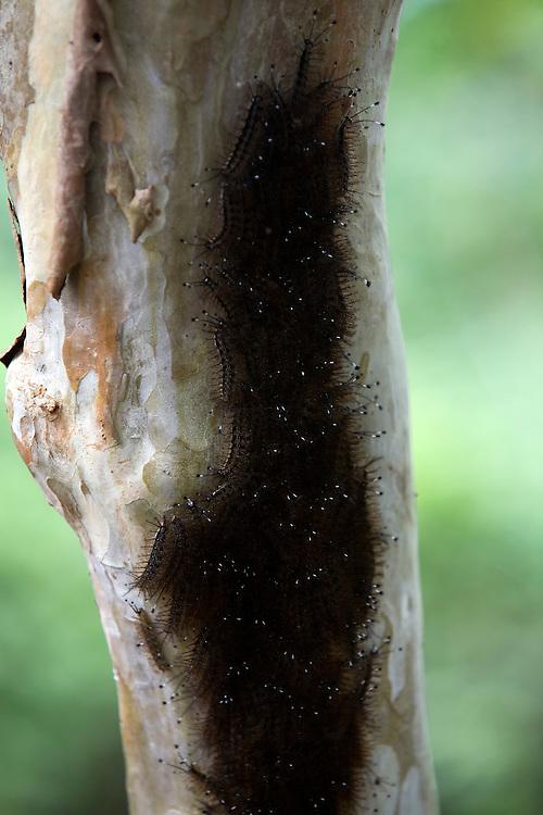 Sao Luis_MA, Brasil..Taturana no tronco de uma goiabeira. Comunidade do Cajueiro...Taturana in a trunk of guava. Cajueiro community...Foto: LEO DRUMOND /  NITRO