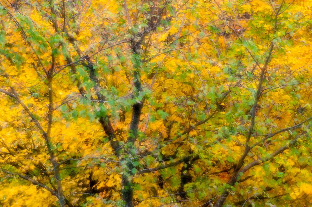 Sugar Maple, Acer saccharum, Lapeer County, Michigan, multiple exposure