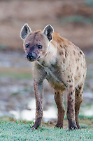 Spotted Hyena , Addo Elephant National Park, Eastern Cape, South Africa