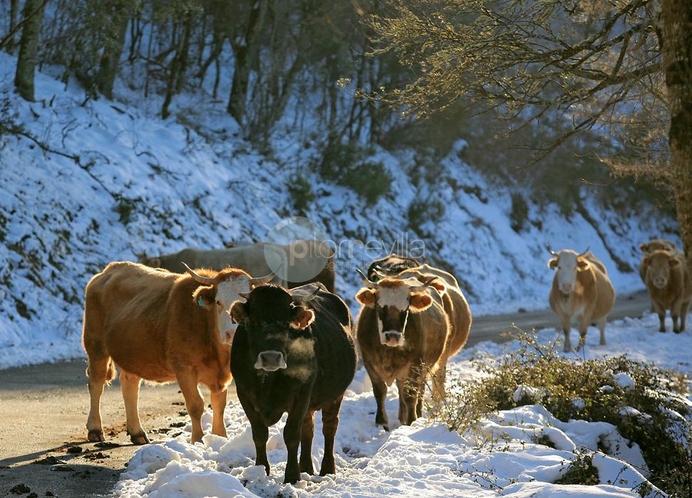 Vacas ©Daniel Acevedo / PILAR REVILLA