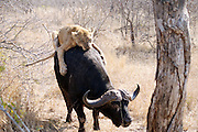Kruger National Park, South Africa -  <br /> <br /> Tourist Captures Incredible Fight Between Three Lions That Fail To Bring Down An Injured Buffalo. <br /> <br /> We got to Phelwana Bridge in Kruger National Park in South Africa and saw quite a few cars there. As we approached we saw this buffalo sitting on the floor about 10 meters from the road.We were told it was injured and there were lions about 20 meters behind the buffalo.We could not see the lions at that time.As time went on we saw this lions lifting their heads up and down.Sat there for about an hour and nothing happened.The buffalo then tried to lift itself up, with great difficulty, and after some time managed to get on its feet.As it stood up this female lioness came walking towards it and jumped onto the buffalo's back trying to pull it down.The female lioness was injured in the back leg and looked as if it had tried to attack the buffalo previously and was injured in the process.The buffalo started snorting and walking with the lioness on its back trying to escape.It came towards the roads and hit a car in the rear bumper and the lioness couldnt hold on and jumped off.The buffalo still on the road hit another car in the front bumper with its horn.The 2 huge male lions came walking towards the road and just sat down in the distance.After a some time again the female tried 2 more times to bring down the buffalo but with no success. this is after the 2nd attack, lioness playing waiting game, in the background are 2 male lions, zoom in to see. <br /> <br /> Photo Shows: Lioness attacks Water Buffalo lioness courage too strong, doesnt want to let go,biting at the buffo's legs. <br /> © Exclusivepix)