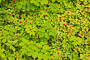 Bunchberry (Cornus canadensis) fruit on the Côte-Nord of the Gulf of St. Lawrence<br />Rivière-au-Tonnerre <br />Quebec<br />Canada