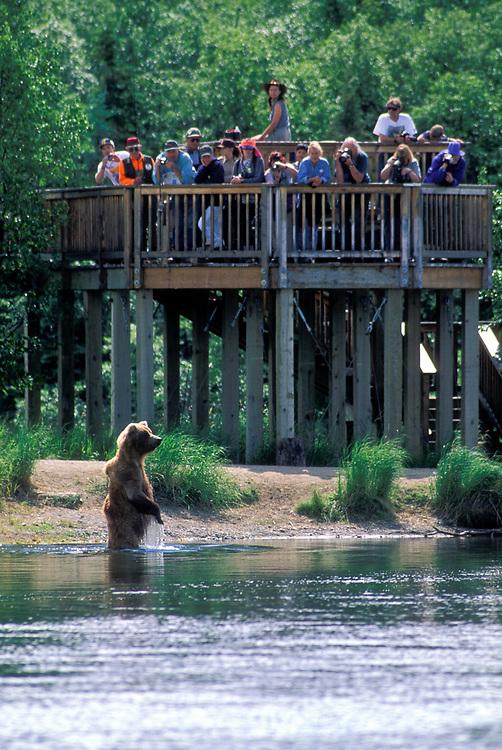 USA, Alaska, Katmai National Park, Tourists on platform watch standing Grizzly Bear (Ursus arctos) in Brooks River