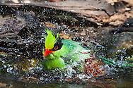 A Green Magpie (Cissa chinensis) splashes while bathing at a watering hole. (Kaeng Krachan, Thailand)