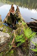 verwitterter Baumstumpf und Farn am Ufer, Großer Arbersee, Bergsee, Bayerischer Wald, Bayern, Deutschland | rotten tree trunk at shore of lake, mountain lake Grosser Arbersee, Bavarian Forest, Bavaria, Germany