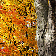 """Under the Old maple Tree"" <br />