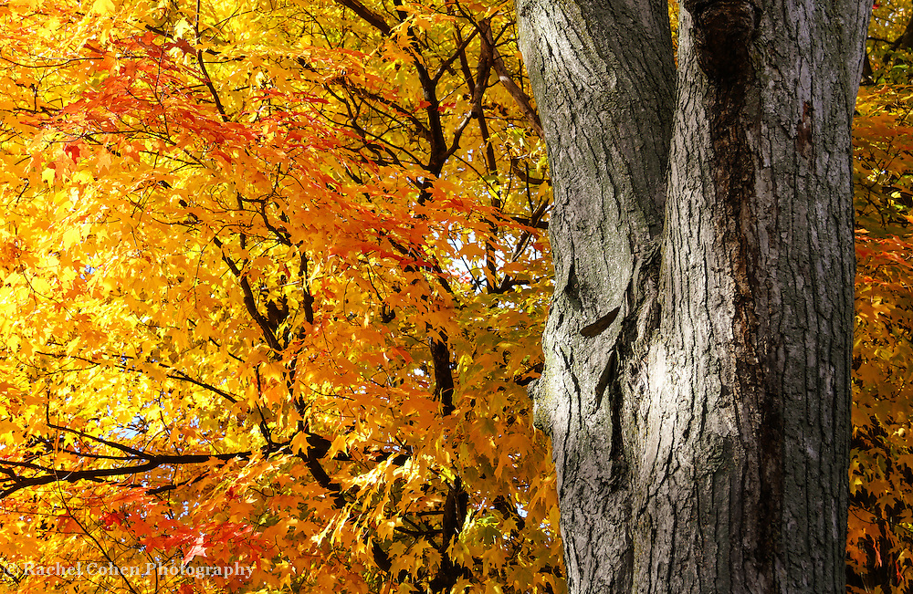 &quot;Under the Old maple Tree&quot; <br />