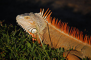This is a photograph of an Iguana.  Taken at Daggerwing Nature Center in Boca Raton, Florida.