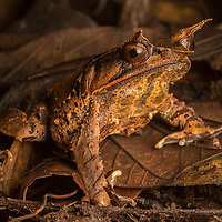 Malaysian Horned Frog, Megophrys nasuta, on the leaf litter in Sarawak, Borneo