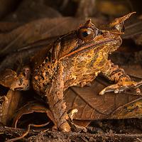 Malaysian Horned Frog, Megophrys nasuta, on the leaf litter in Sarawak, Borneo