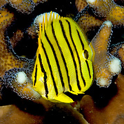 Eclipse Butterflyfish inhabit reefs. Picture taken Raja Ampat, Indonesia.