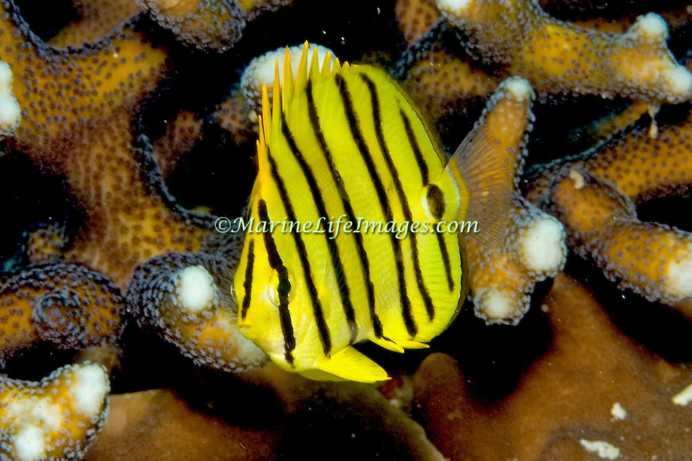 Eclipse Butterflyfish inhabit reefs. Picture taken Raja Ampat, Indonesia.