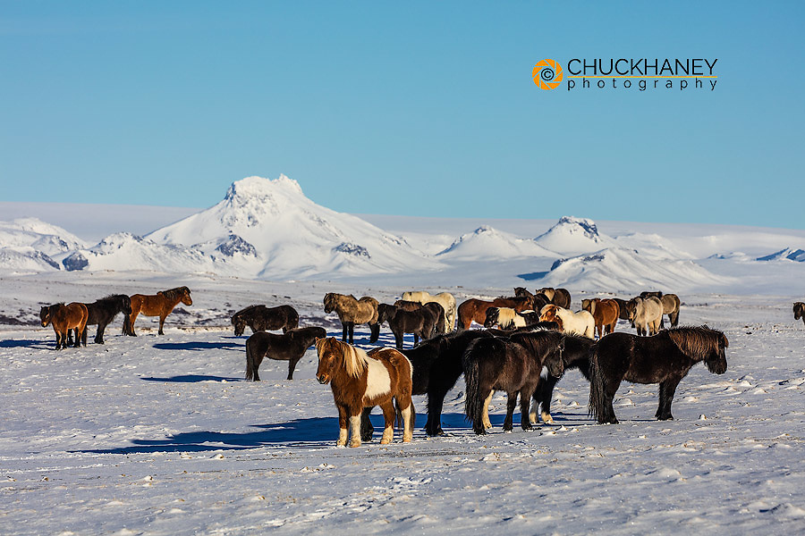 Icelandic horses in winter pasture near Geysir, Iceland