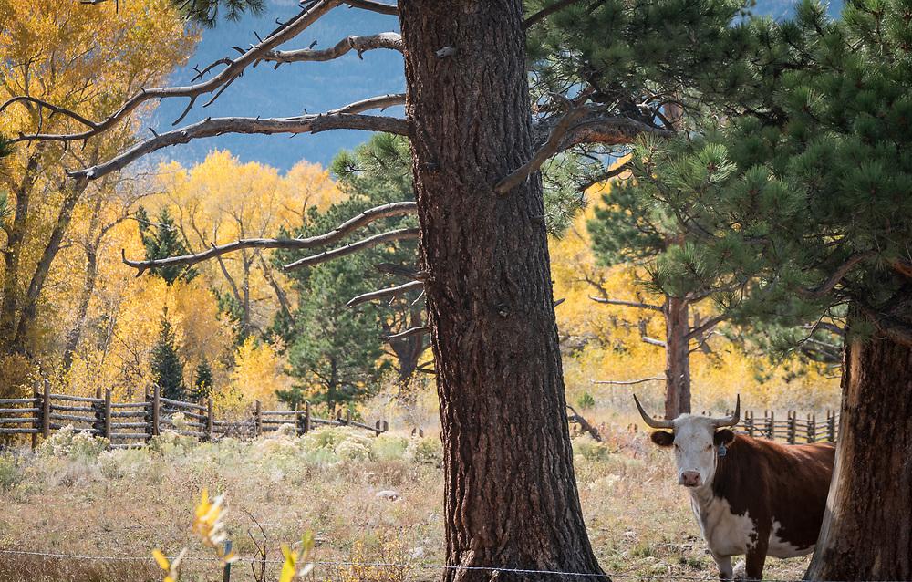 A steer peeks out among fall color along Colony Lane.