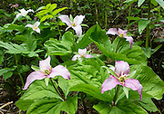 Trillium flowers, Ingalls Creek Trail, Wenatchee National Forest, between Leavenworth and Blewett Pass, in Washington, USA.