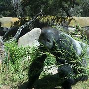 Gorila at Santa Barbara Zoo.Santa Barbara,CA.
