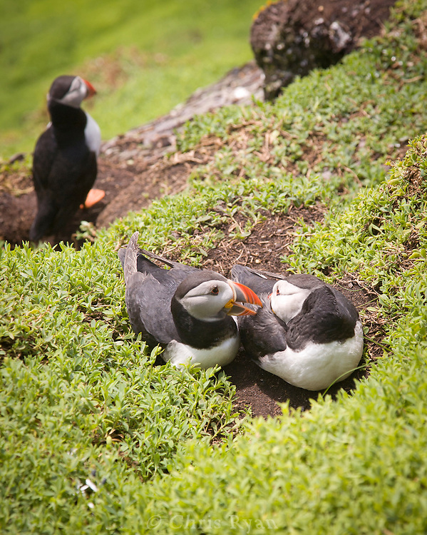 Puffins on Skellig Islands (Skellig Michael), Ireland