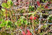 Red berries Photographed on Elfer Mountain, Stubai Valley, Tyrol, Austria in September