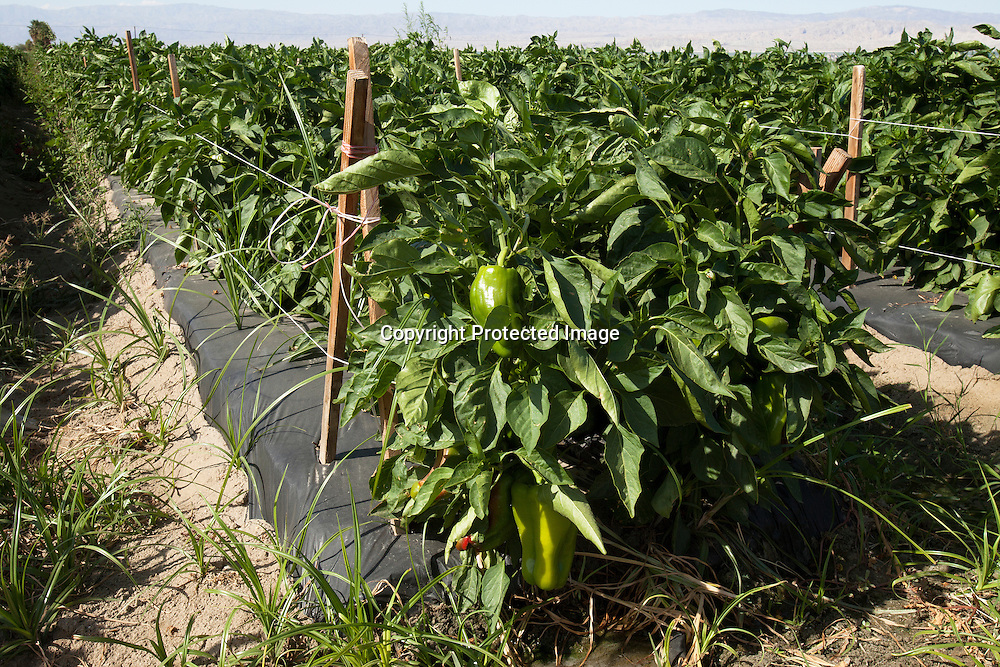 Bell peppers orchard located in Southern California's Imperial Valley