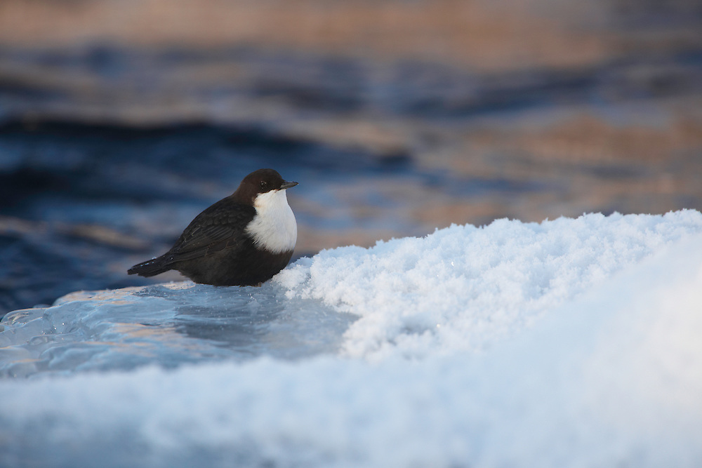 WILD WHITE-THROATED DIPPER; CINCLUS CINCLUS; WINTER; KITKAJOKI; FINLAND; FEBRUARY; EUROPE
