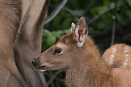 Elk calf profile portrait, standing by the rear legs of its mother. Greater Yellowstone Ecosystem, © 2019 David A. Ponton